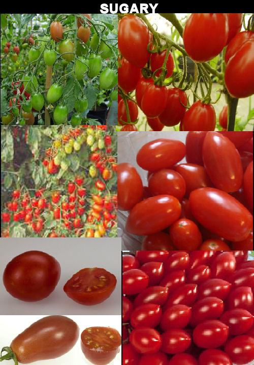 harzfeuer tomate